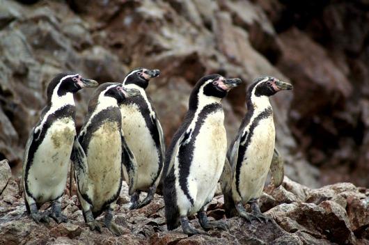 Humboldtpinguïns op Islas Ballestas