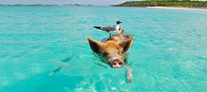 zwemmen met varkens